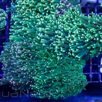 Neon Green Torch Coral Unique Corals