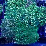 Neon Green Torch Coral Unique Corals