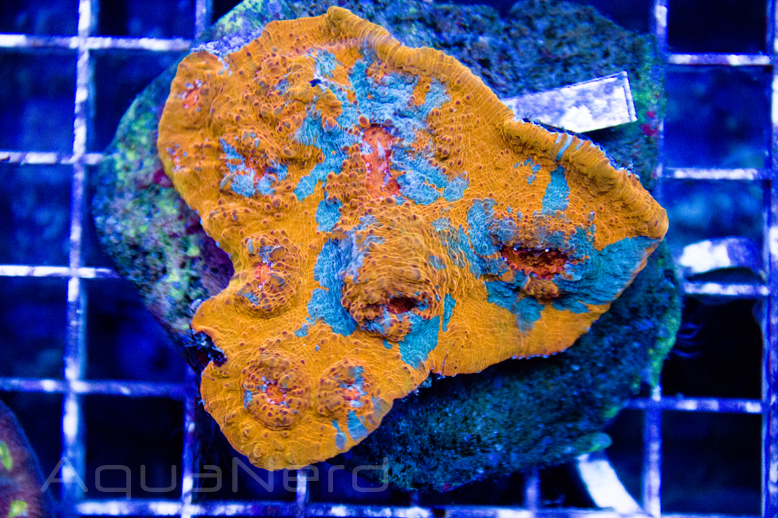 Neon Orange Chalice Unique Corals