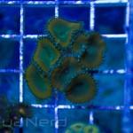 Nuclear Death Palys Unique Corals