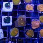 Orange Chalice Frags Unique Corals