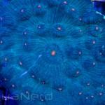 Orange Eye Chalice Unique Corals