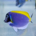 Powder Blue Tang SDC