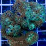 Rainbow Goniopora Coral Unique Corals