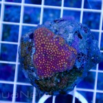 Rainbow Goniopora Unique Corals
