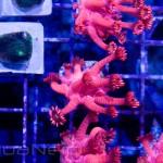 Red Goniopora Unique Corals
