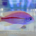 Red Stripe Anthias SDC