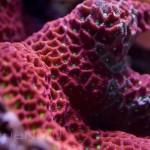 Red War Coral