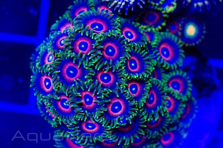 Reef Currents Corals