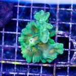 Space Invader Pectinia Frag Unique Corals