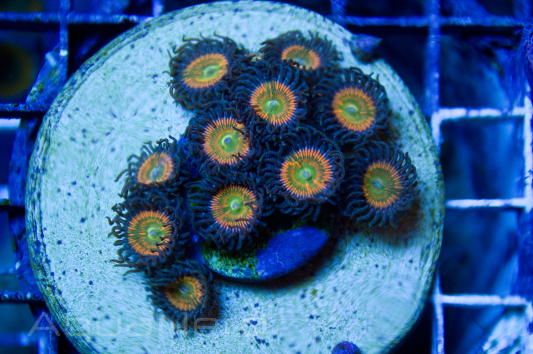 Sunny Delight Zoas Unique Corals