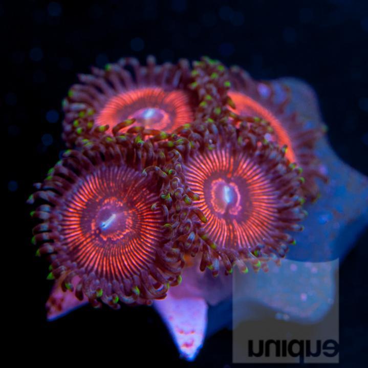 Unique Corals Corals for the Cure