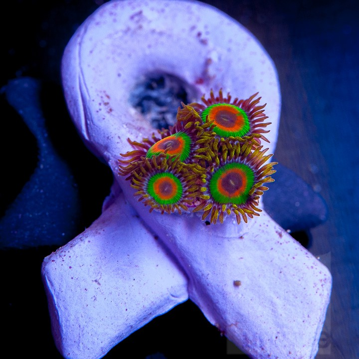 Unique Corals Rasta Zoas, Corals for the Cure