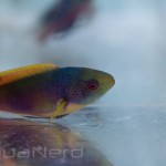 Yellow-Flanked Fairy Wrasse SDC