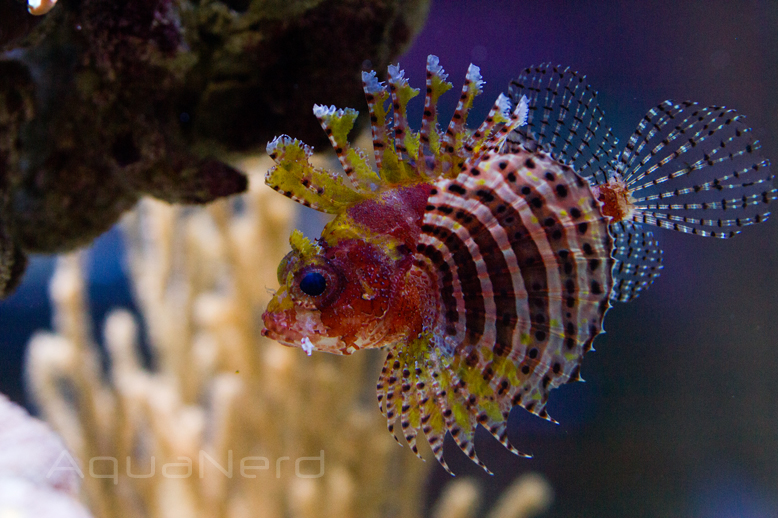 Yellow Fuzzy Dwarf Lionfish