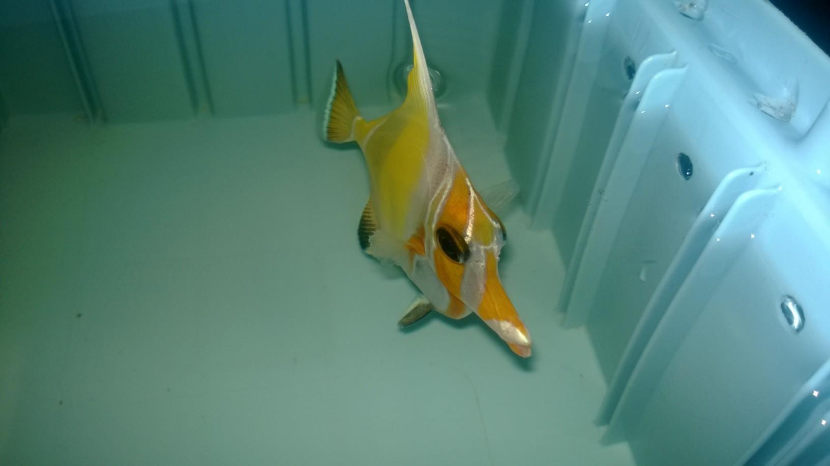 Yellow Morph Moorish Idol