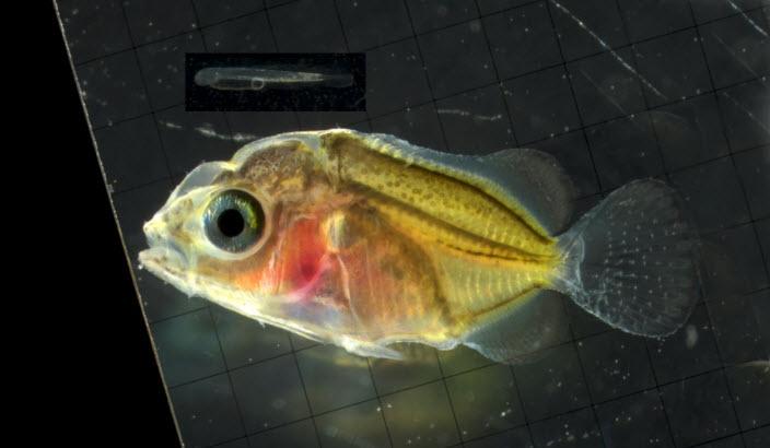 Milletseed Butterflyfish 44 dph