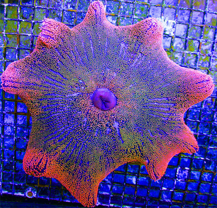 Rainbow Red Haddoni Carpet Anemone