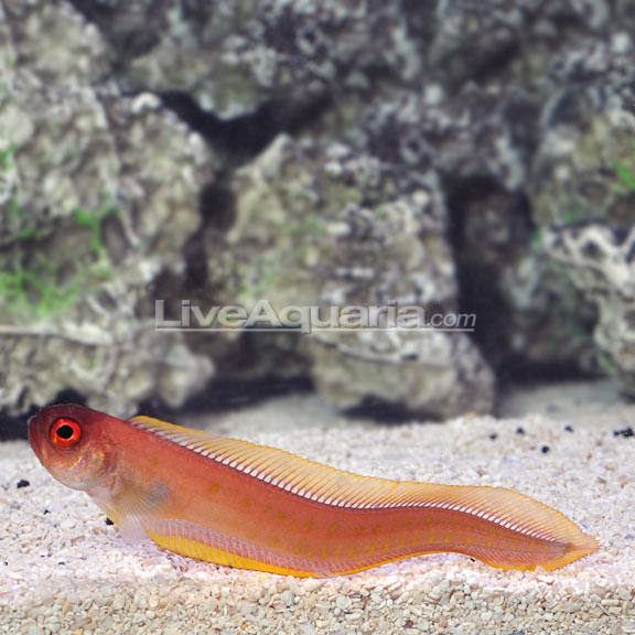 Red Spotted Bandfish