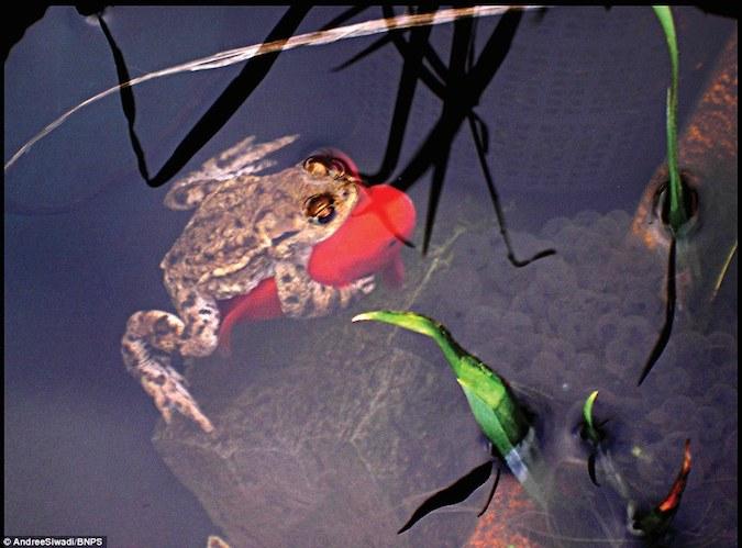 Frog Riding Golfish