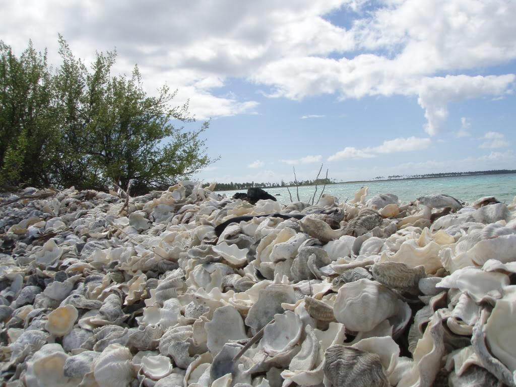 Maxima Clam Shells