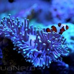 Clownfish in Heteractis Anemone