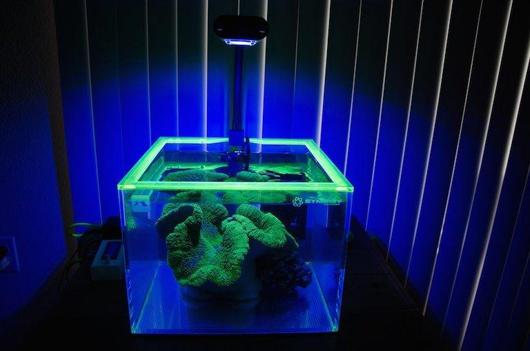 Green Carpet Anemone Synergy Tank