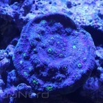 Green Eyed Chalice Coral