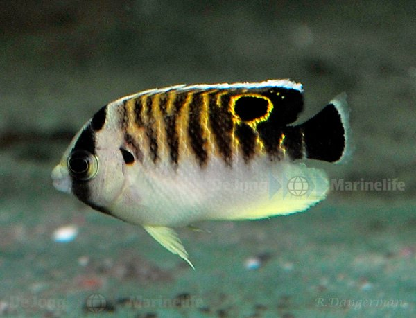 Juvenile Tiger Angelfish