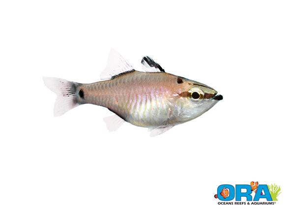 ORA Spotnape Cardinalfish
