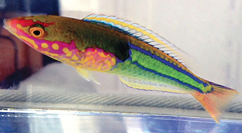 Pseudojuloides edwardi Pencil Wrasse