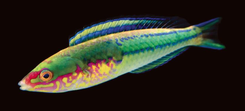 Pseudojuloides edwardi from Africa