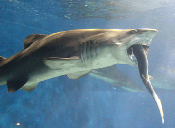 Sand Tiger Shark Attacks Blacktip