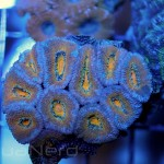 Yellow Acan Frag