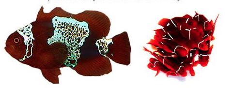 MBI Workshop Lightning Maroon Clownfish Raffle