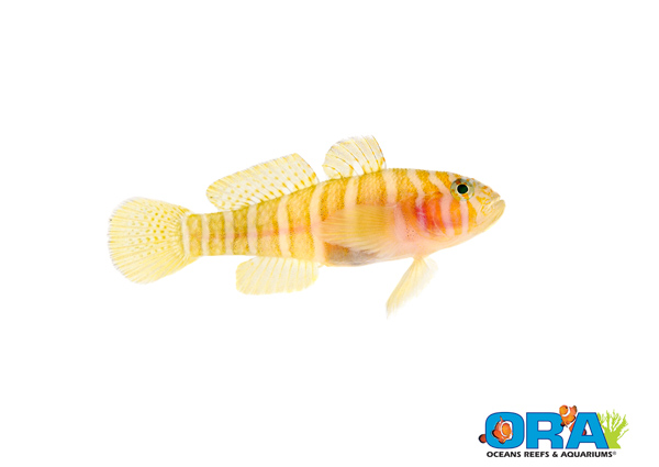 ORA Girdled Goby