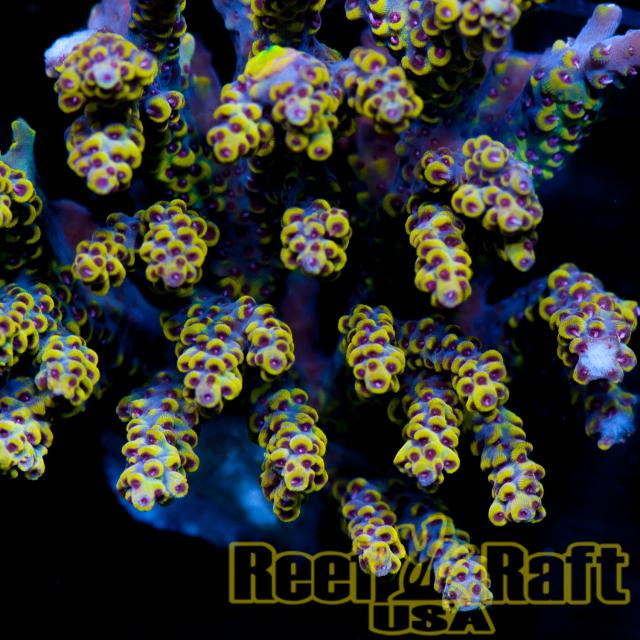 Reef Raft USA D-Day Acropora