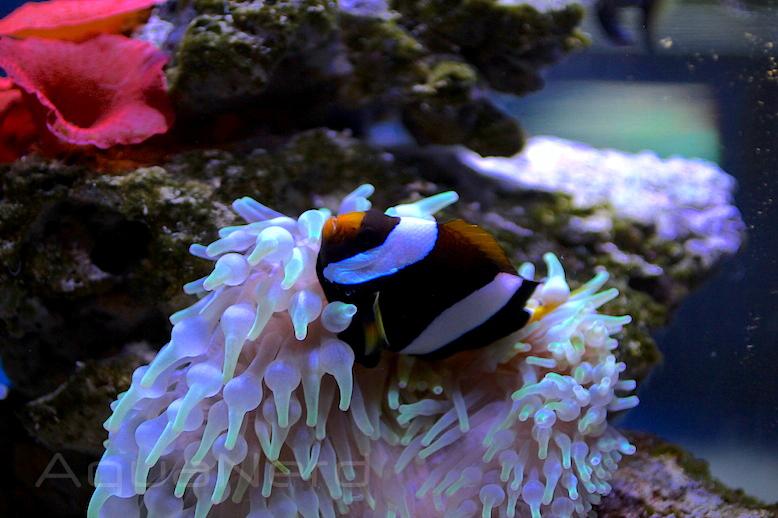 Clarkii Clownfish with BTA