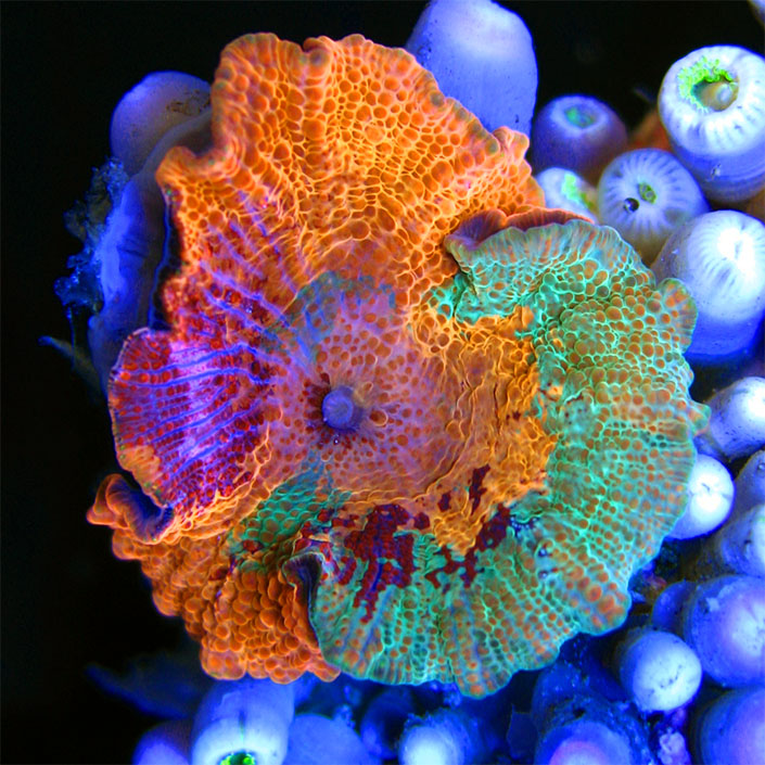 Image result for fancy mushroom coral
