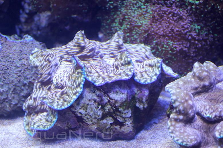 Tridacna Derasa Kemah Aquarium