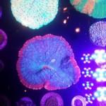 Cherry Corals MACNA 2014