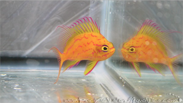 Hawaiian Yellow Anthias PIA