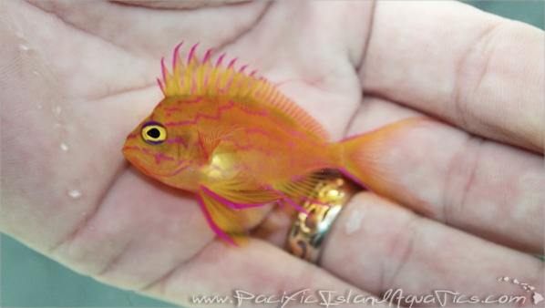 Hawaiian Yellow Anthias in Hand
