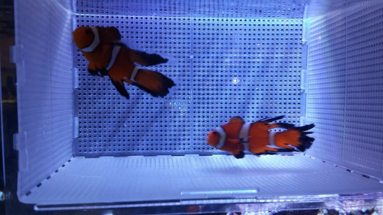 Longfin Clownfish from Sustainable Aquatics