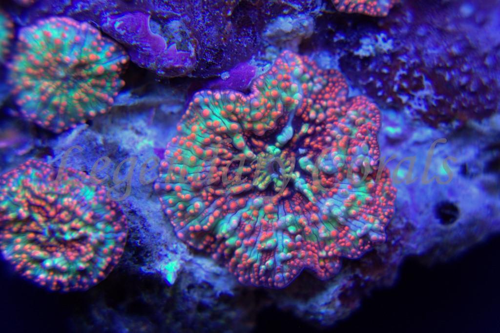 Pantsdropper Mushroom Coral