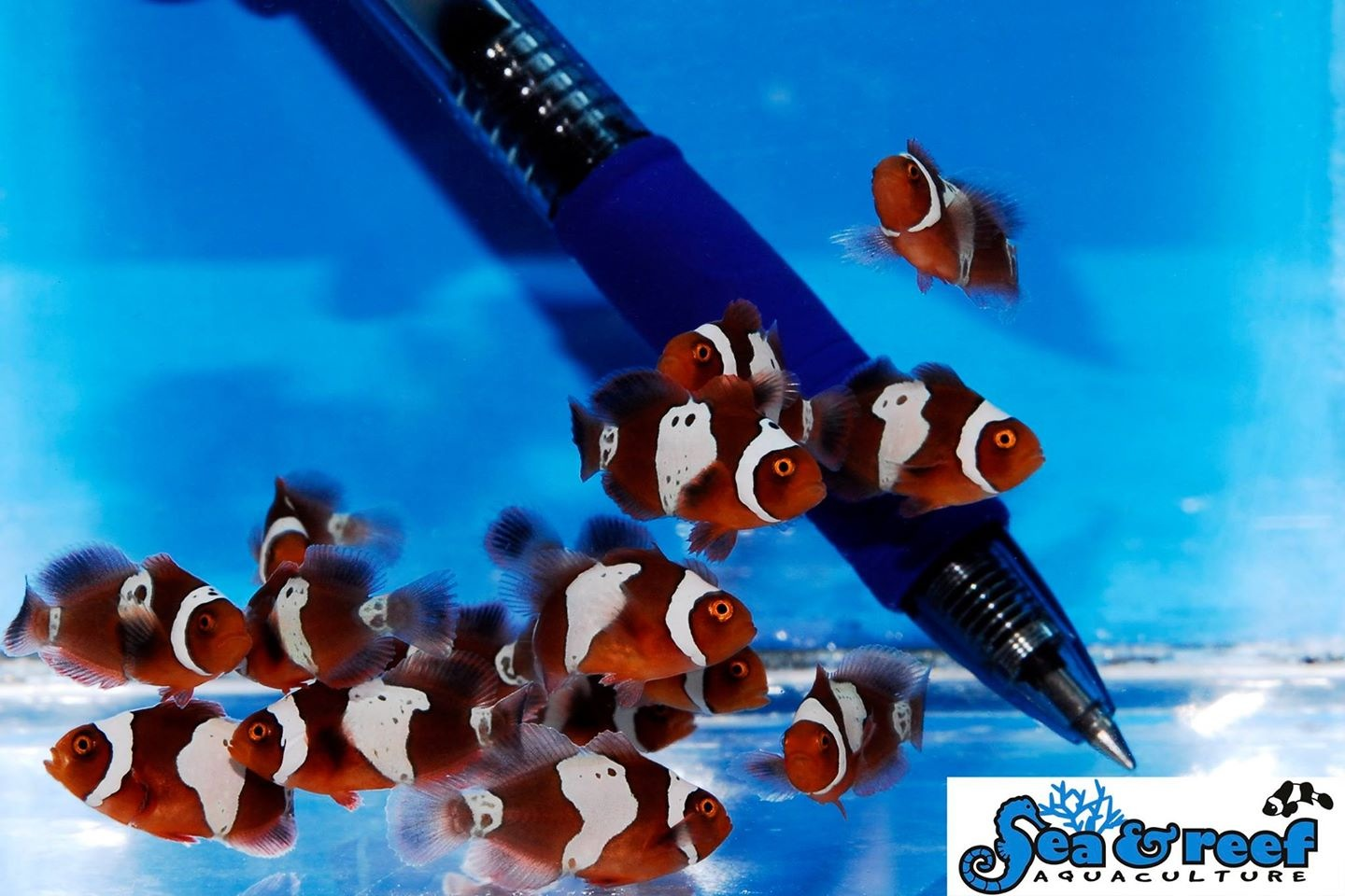 Sea & Reef Aquaculture Lighting Maroon Clownfish