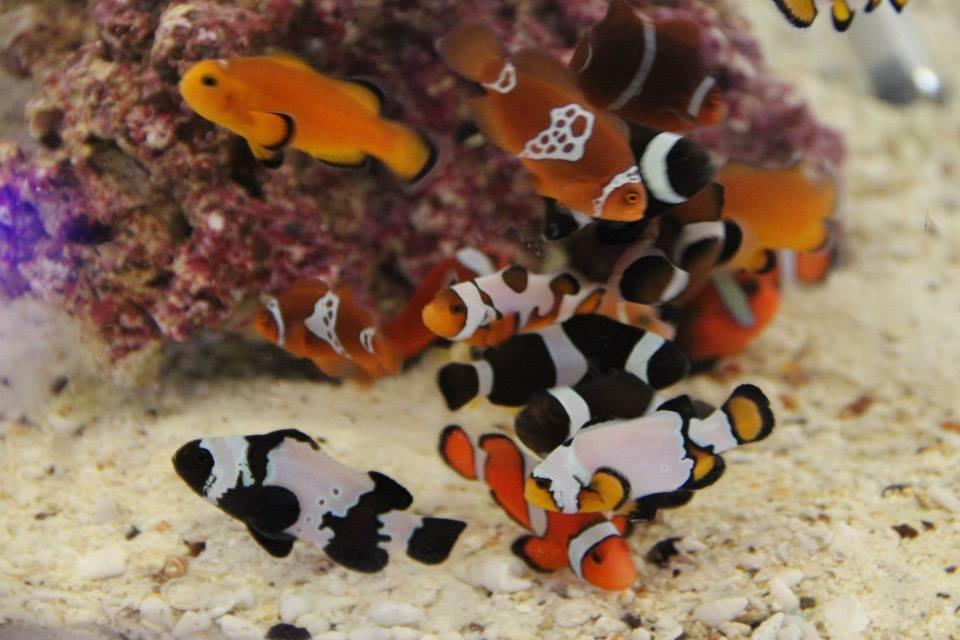 Sea & Reef Lighting Maroon Clown