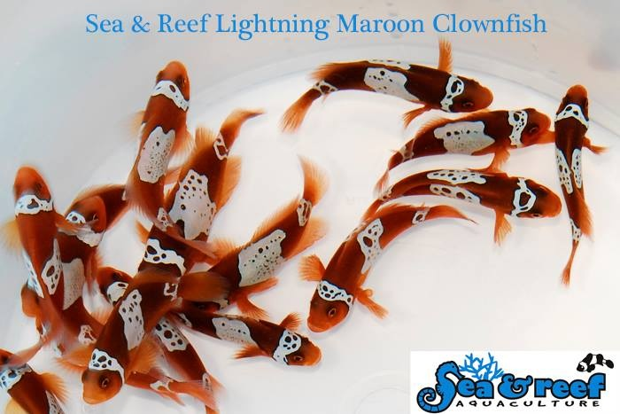 Sea & Reef Lighting Maroon Clownfish