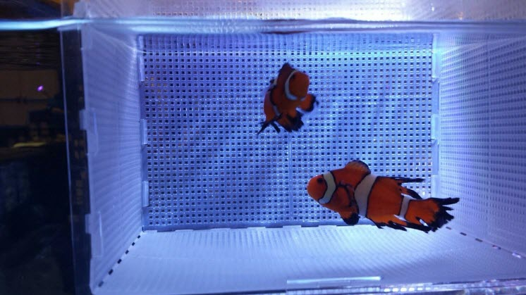 Sustainable Aquatics Longfin Clownfish