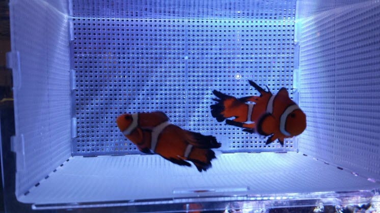 Sustainable Aquatics Longfin Clowns
